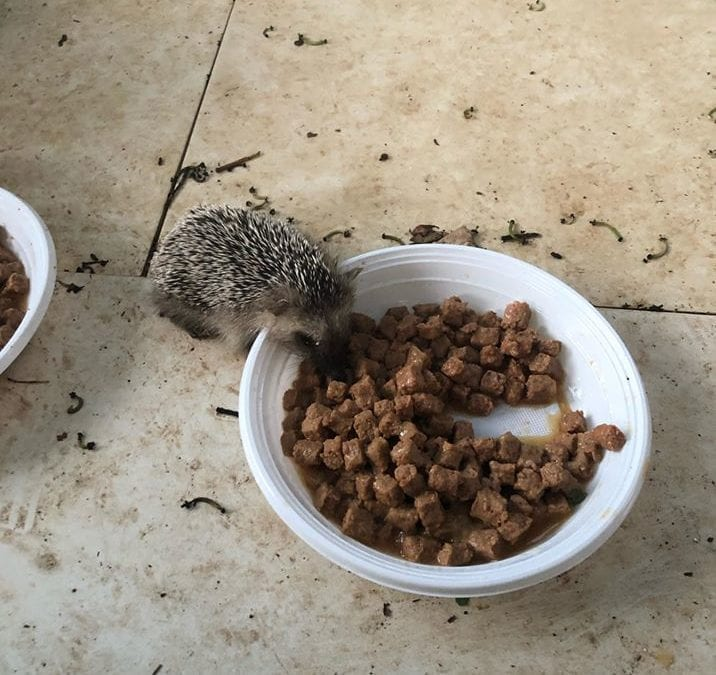Endangered Hedgehogs Dying from Poison Originally Intended for Cats